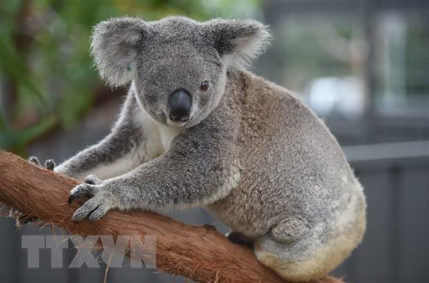 Australia mở chiến dịch quyên góp cứu gấu túi bị thương do cháy rừng - Hình 1