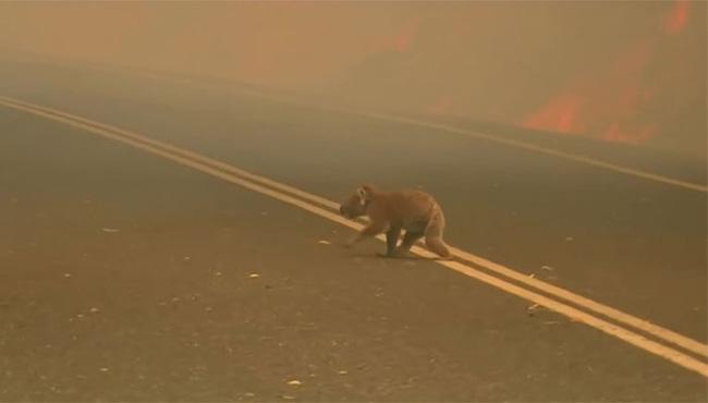 Dân mạng xúc động rơi nước mắt với hình ảnh người phụ nữ lao vào đám lửa lớn để giải cứu cho một chú gấu Koala đang bị thương nặng - Hình 1