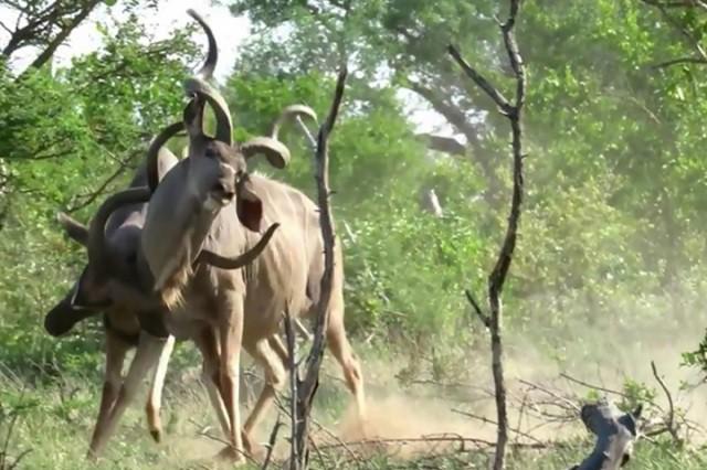 Linh dương kudu đang húc nhau thì bị sư tử tóm gọn - Hình 1