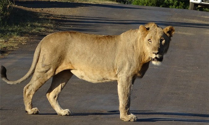 Cận cảnh sư tử tàng hình săn thịt tê giác con - Hình 2