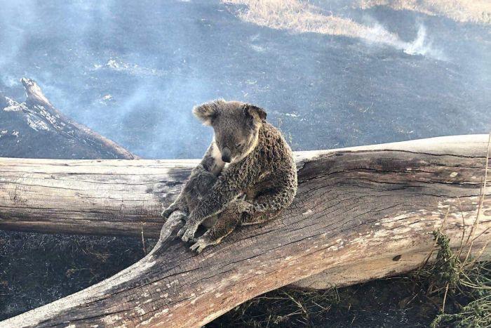 Gấu túi đối diện với nguy cơ tuyệt chủng do hỏa hoạn tại Australia - Hình 1