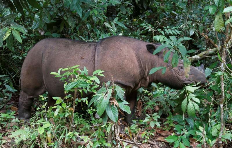 Tê giác Sumatra ở Malaysia tuyệt chủng - Hình 1