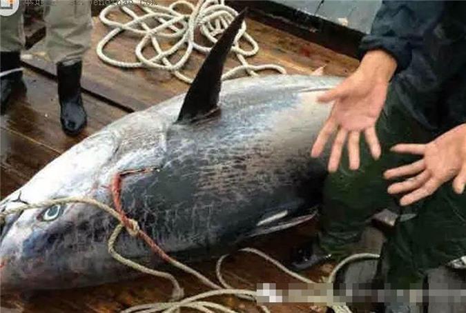 Bắt được cá mú khổng lồ dài gần 2m - Hình 7