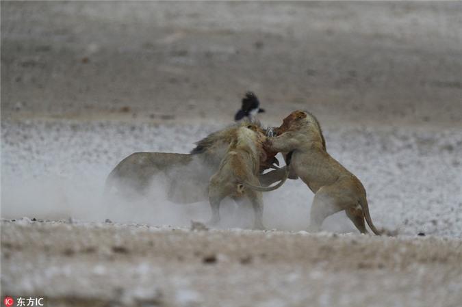 Sư tử trẻ đảo chính, tấn công sư tử già lõi đời - Hình 2
