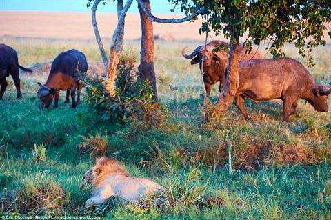 Chui lủi lẩn trốn, sư tử bị trâu rừng đánh thê thảm - Hình 1