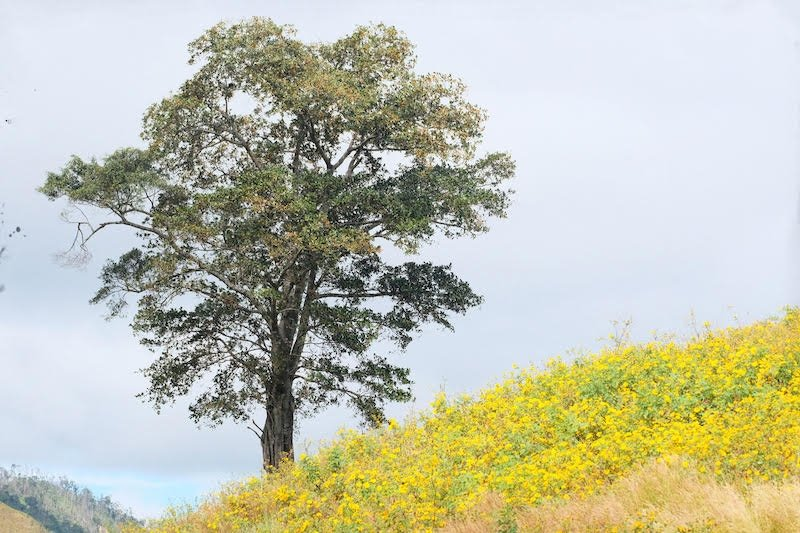 Mê hoặc mùa hoa dã quỳ núi lửa Chư Đăng Ya - Hình 1