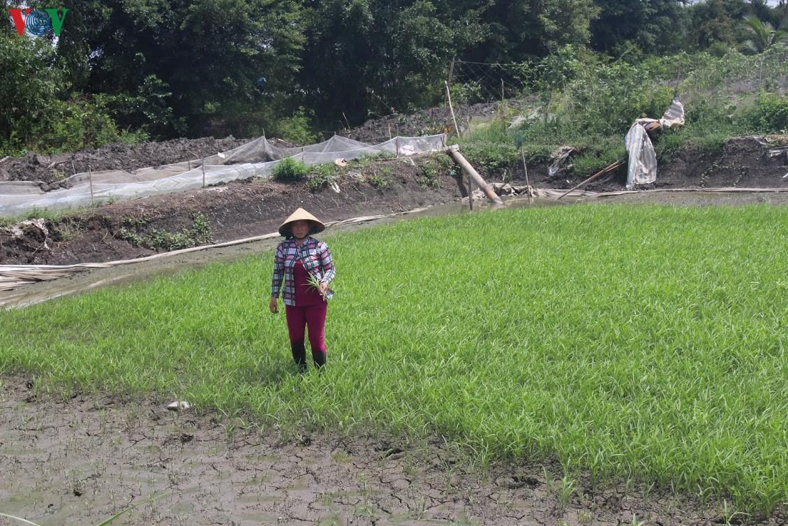 Tiền Giang chạy đua với nước mặn tràn về - Hình 1
