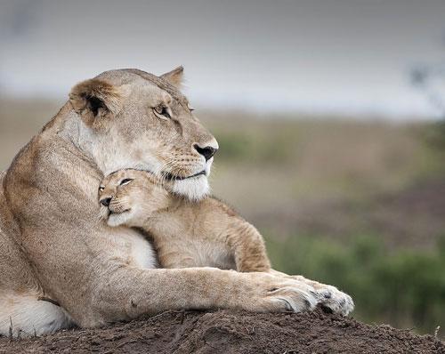 Ảnh động vật: Cuộc sống bình yên của vua sư tử - Hình 1