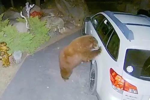 Gấu mở cửa ô tô, trèo vào trong làm hành động bất ngờ - Hình 1