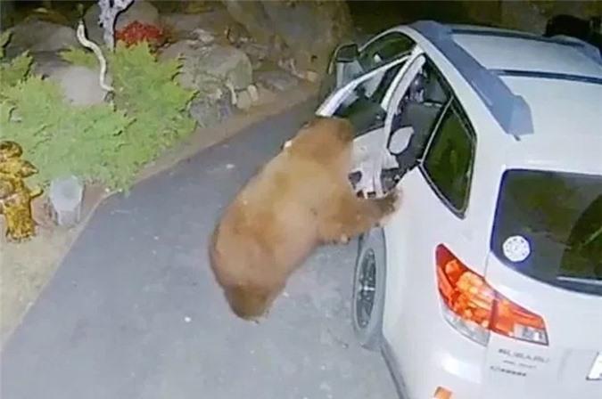 Gấu mở cửa ô tô, trèo vào trong làm hành động bất ngờ - Hình 2
