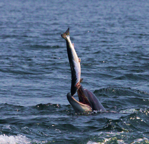 Rợn người cá heo chơi đùa con mồi trước khi ăn thịt - Hình 1