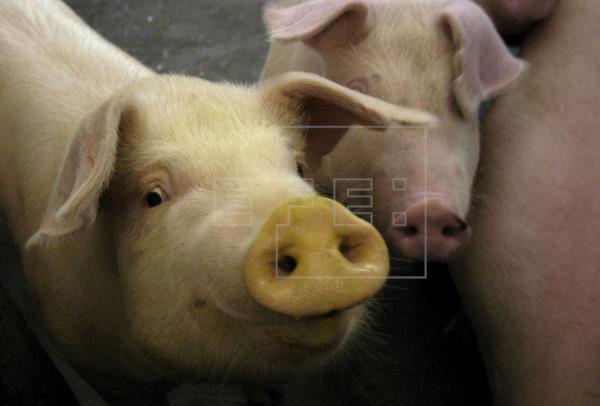 Giới khoa học Nhật Bản thí điểm nuôi cấy tụy người ở lợn - Hình 1