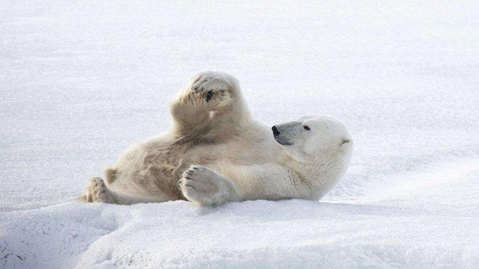 Nhiếp ảnh gia kinh ngạc ghi lại khoảnh khắc gấu Bắc Cực tập yoga - Hình 1