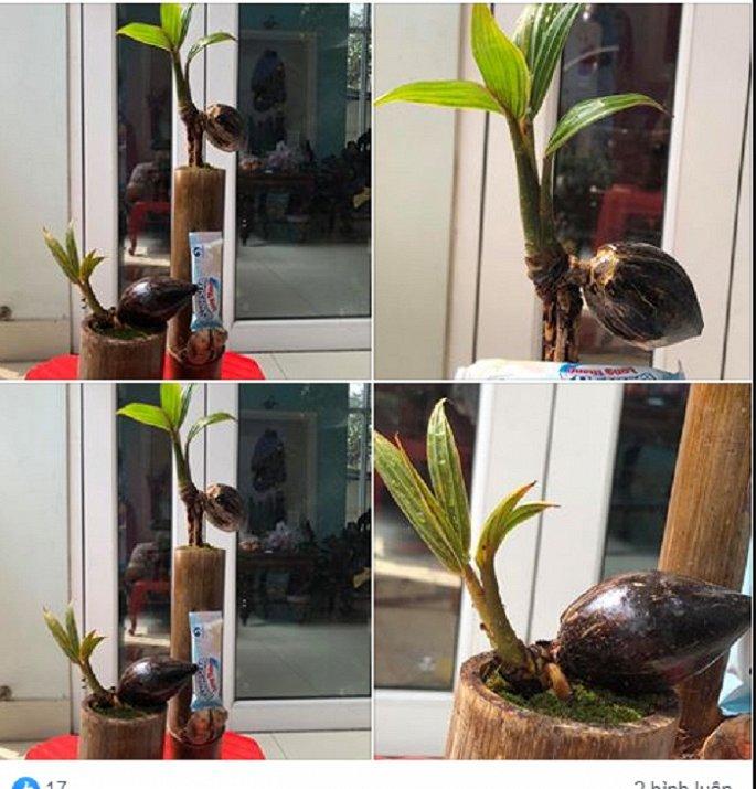 Mãn nhãn bonsai dừa mini siêu độc chơi Tết - Hình 1