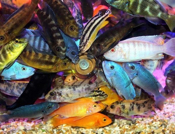 Đây là những con cá quái dị bậc nhất hành tinh khiến khoa học phải kinh ngạc: Tạo ra hẳn một loài mới mỗi khi sinh sản - Hình 2