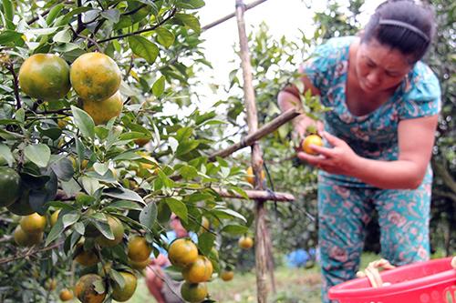 Đồng Nai: Nông dân méo mặt vì cam quýt ê hề, giá rớt thê thảm - Hình 1