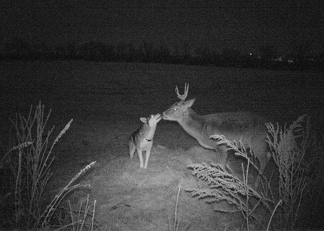 Cô husky bỏ nhà theo trai vào rừng để hẹn hò với anh nai hoang dã - Hình 1