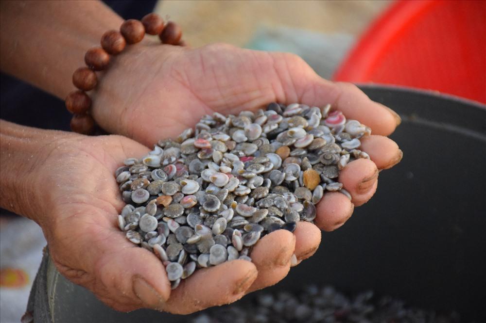 Ngư dân Quảng Ngãi khuấy lòng biển cào những con ốc gạo đủ màu sắc - Hình 5