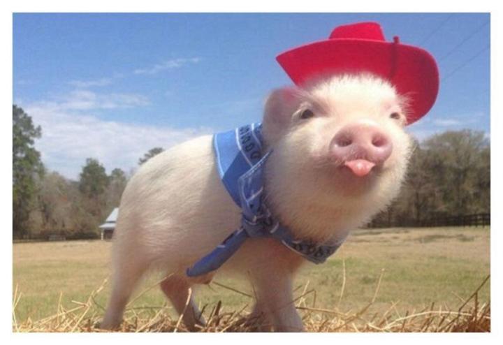 Chùm Ảnh: Những Chú Lợn Chất Như Nước Cất Nhất Thế Giới - Hình 4