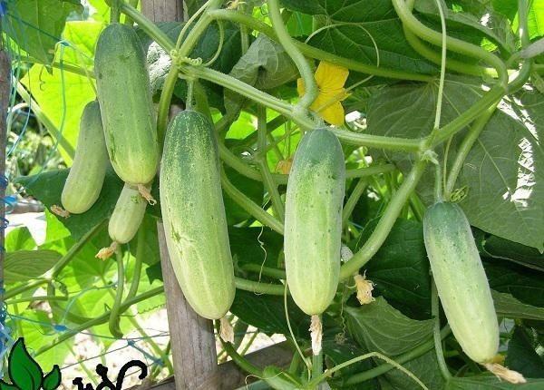 Cách trồng dưa chuột trong thùng xốp vẫn cho quả sai lúc lỉu ăn cả tuần không hết - Hình 4
