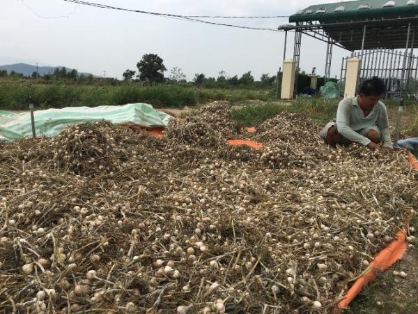 Khánh Hòa: Giá tỏi nhảy vọt, thương lái đổ xô đi thu gom - Hình 1