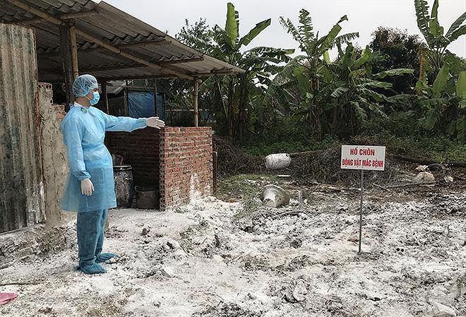 Dịch tả lợn châu Phi ở Hà Nội: Vì sao đàn lợn rừng bị nhiễm dịch? - Hình 1