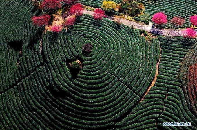 Hoa đào nở giữa đồi trà đẹp như tranh - Hình 2