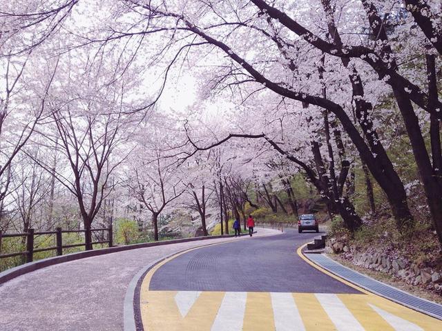 Tháng ba đến Hàn Quốc ngắm hoa anh đào - Du lịch