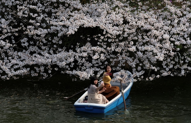 Ngắm hoa anh đào nở rộ trên khắp thế giới - Hình 9