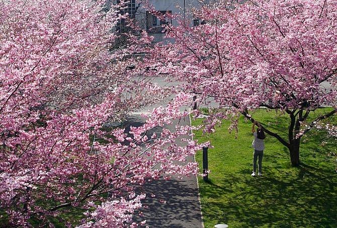 Ngắm hoa anh đào nở rộ trên khắp thế giới - Hình 3