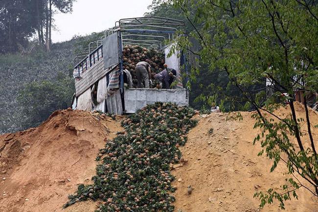 Hàng trăm tấn dứa ở Lào Cai đứng trước nguy cơ vứt cho trâu, bò ăn - Hình 7