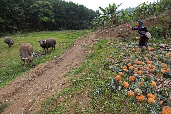 Hàng trăm tấn dứa ở Lào Cai đứng trước nguy cơ vứt cho trâu, bò ăn - Hình 8