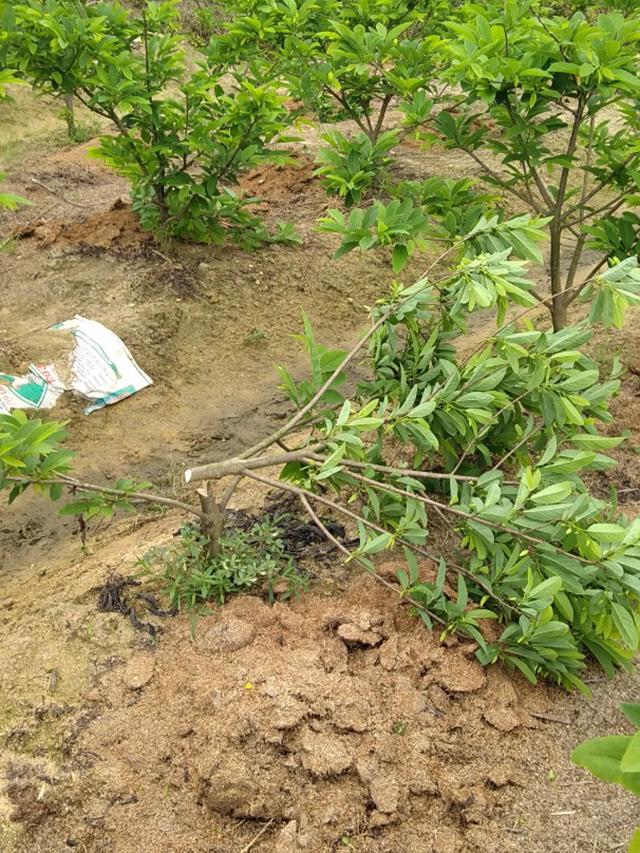 Vĩnh Phúc: Xót xa gần 50 gốc na đến mùa ra hoa bị kẻ gian phá hoại - Hình 1