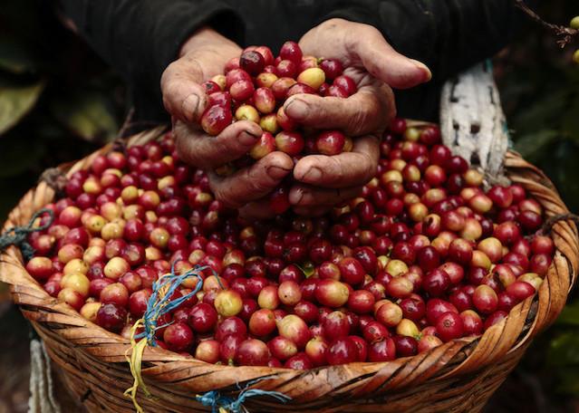 Giá nông sản hôm nay 16/5: Giá cà phê giảm 300 đ/kg, giá tiêu ổn định - Hình 1