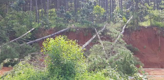 Rừng thông ở Lâm Đồng vẫn chết hàng loạt sau chỉ đạo của Thủ tướng - Hình 3