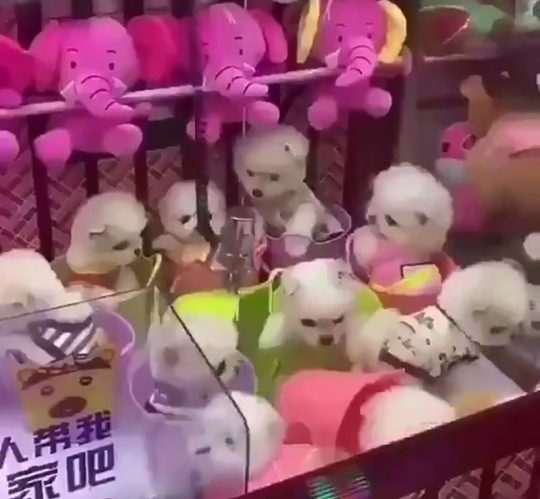 Xôn xao clip 10 chú chó con được đem làm giải thưởng trong máy gắp thú - Hình 1