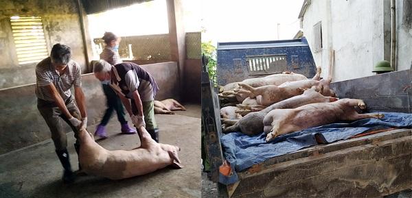 Dịch tả lợn châu Phi lan nhanh, Việt Trì phải tiêu hủy 578 con lợn - Hình 1