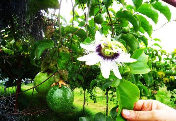 10 loại hoa leo rủ xua tan oi bức mùa hè - Hình 10