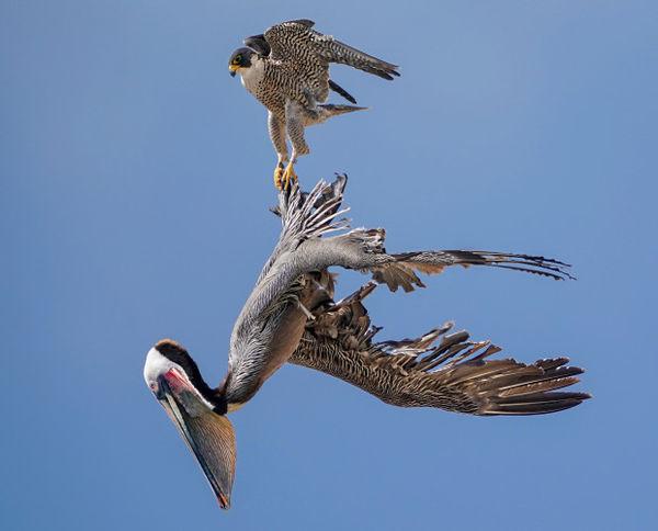 Bồ nông ve vãn quanh tổ, chim ưng điên tiết đáp trả bằng đòn hiểm - Hình 1