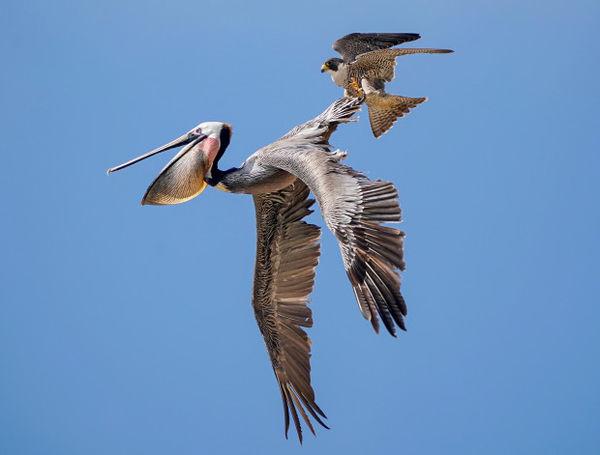 Bồ nông ve vãn quanh tổ, chim ưng điên tiết đáp trả bằng đòn hiểm - Hình 2