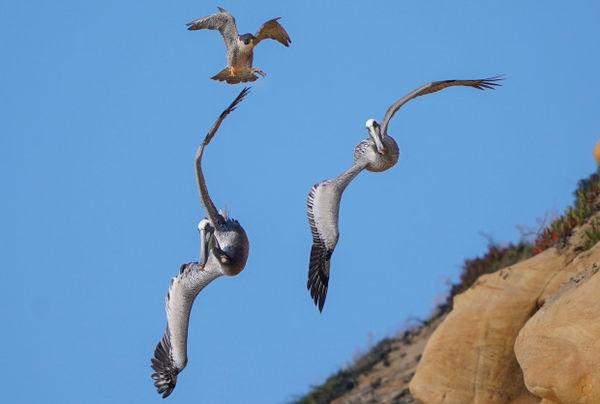 Bồ nông ve vãn quanh tổ, chim ưng điên tiết đáp trả bằng đòn hiểm - Hình 3