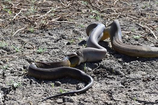 Rùng mình: Trăn bực mình phun ra một con rắn kích cỡ khủng - Hình 1