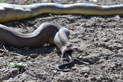 Rùng mình: Trăn bực mình phun ra một con rắn kích cỡ khủng - Hình 3