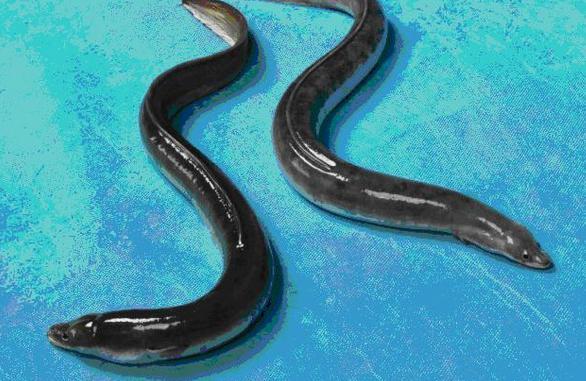 Kiến trúc sư bỏ việc về nuôi loài cá nhìn như rắn, kiếm tiền tỷ ngon lành - Hình 1