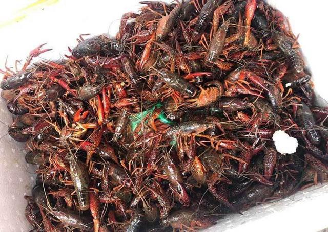 Sự thật: Tôm càng đỏ nguy hiểm hơn ốc bươu vàng, ăn 1 bữa là chán - Hình 3
