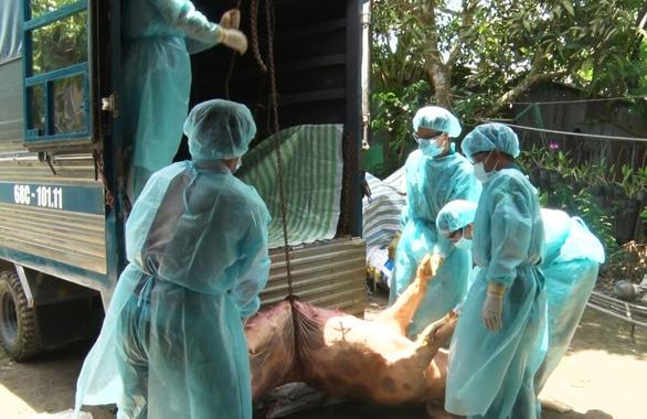 NÓNG: Dịch tả lợn châu Phi chính thức tấn công Cần Thơ với 3 ổ dịch - Hình 1
