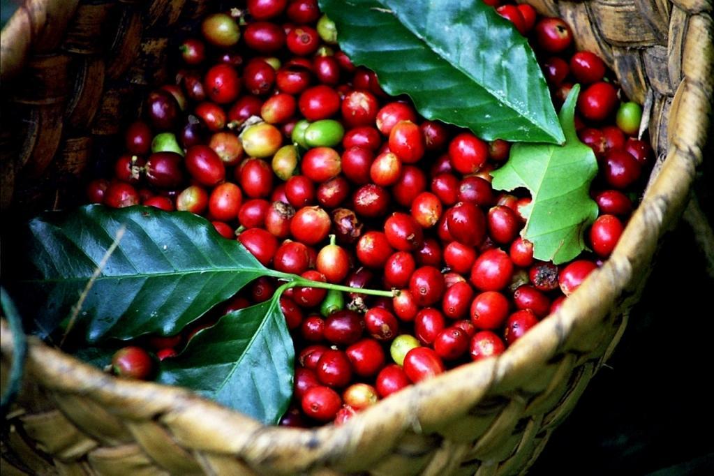 Giá nông sản 8/5: Giá cà phê giảm mạnh 1.000 đ/kg, giá tiêu đi ngang - Hình 1