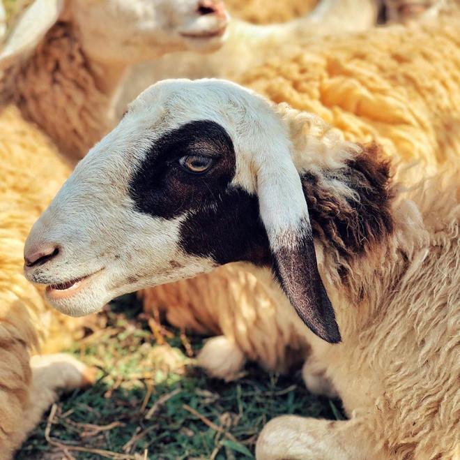 Đến đồng cừu Ninh Thuận để có bộ ảnh trên thảo nguyên độc lạ - Hình 4