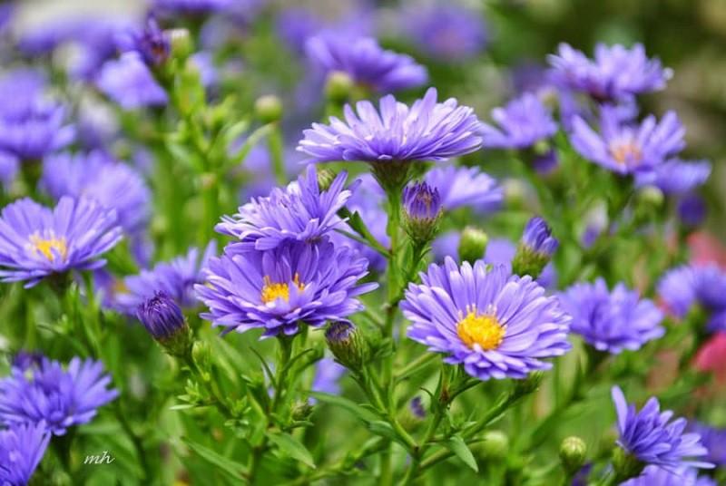 Nhiều người lựa chọn 5 giống hoa này để trồng vì chỉ cần cắm xuống là mọc tốt um - Hình 5