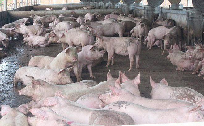 Dịch tả lợn châu Phi vẫn diễn biến phức tạp - Hình 1